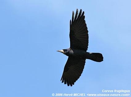 corbeau - ANIMAL TOTEM  - Page 3 Corbeau_freux15