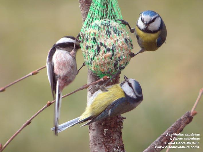 Mésange bleue - Blue Tit - Parus caeruleus - Blue Tit
