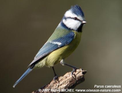 ornithologie les oiseaux c 39 est ici page 2 forum asperansa. Black Bedroom Furniture Sets. Home Design Ideas