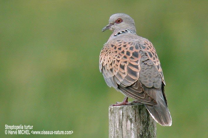 European Turtle Dove  美しい鳥類9  Pinterest