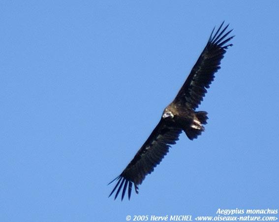 Interview de Peter Galbusera dans interview vautour_moine05