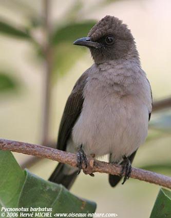 صور بلبل صور طائر البلبل أنواع البلابل البلبل
